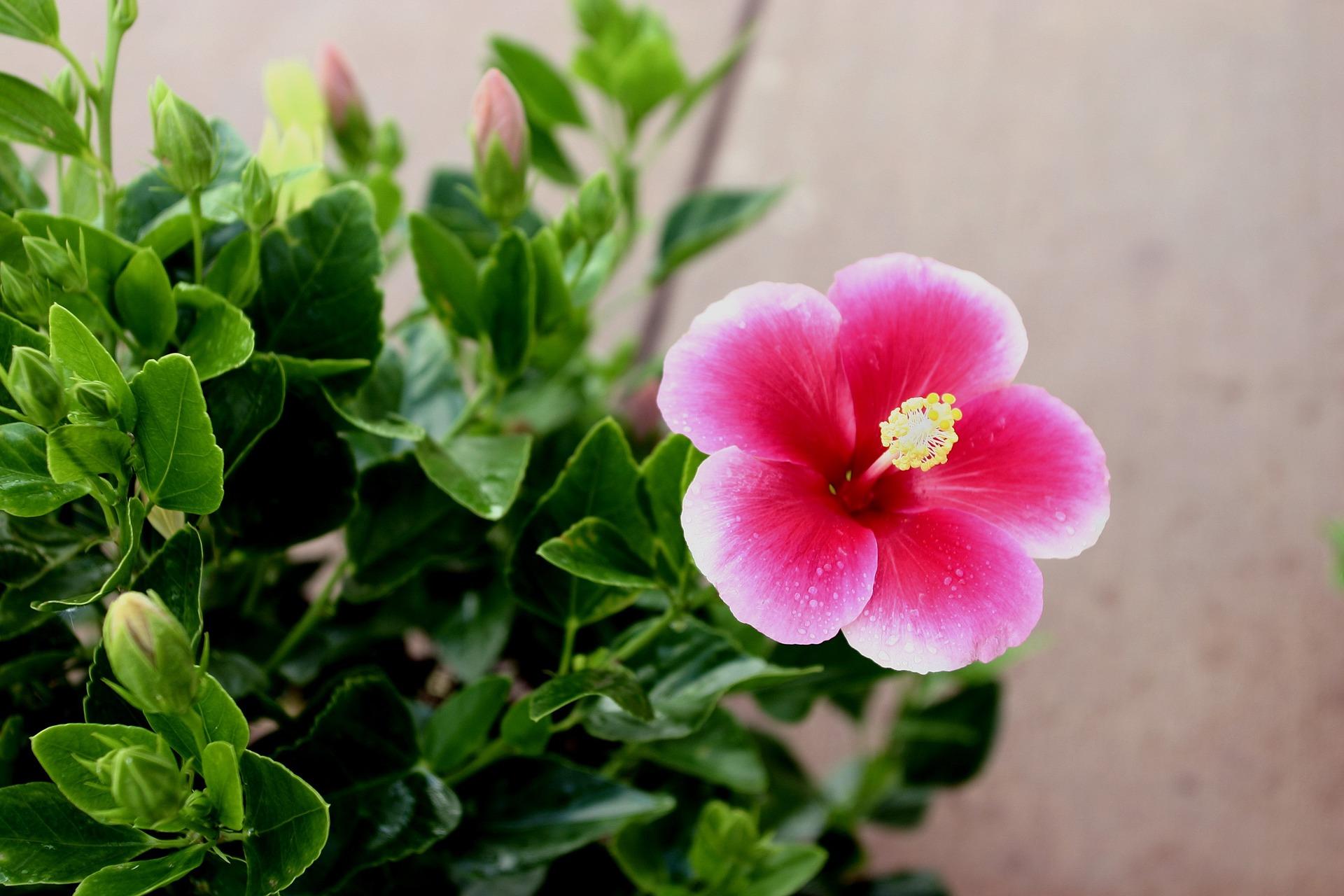 Рослини для ідеального палісадника гібіскус