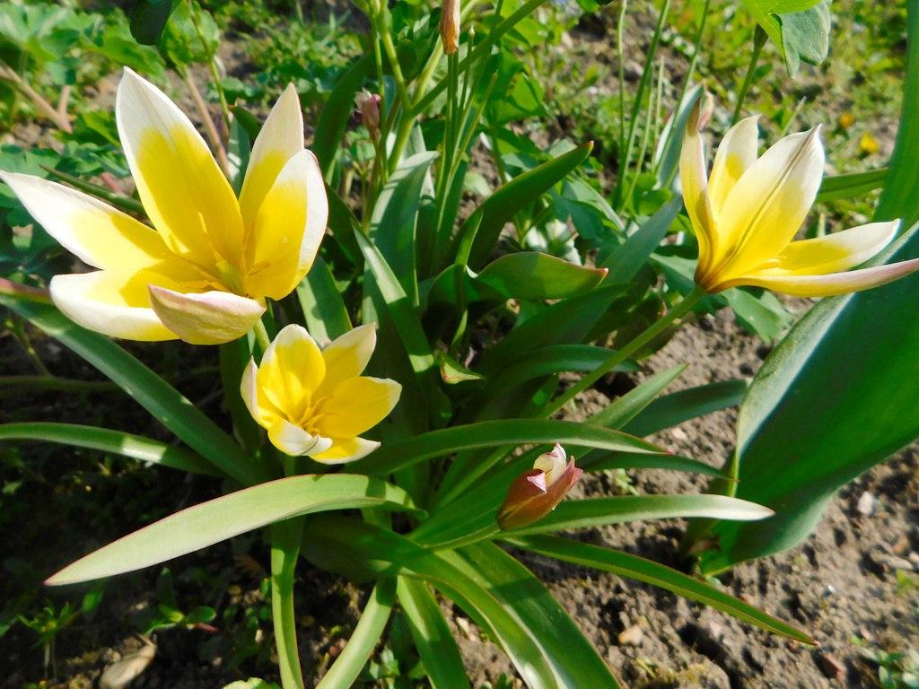 Рослини для ідеального палісадника ботаничні тюльпани
