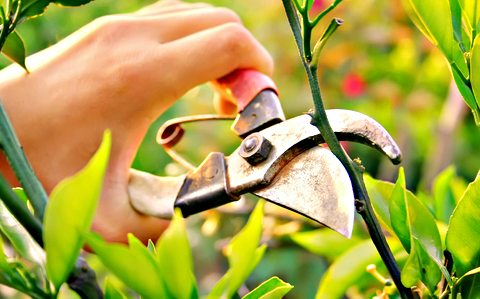 Коли обрізати дерева навесні