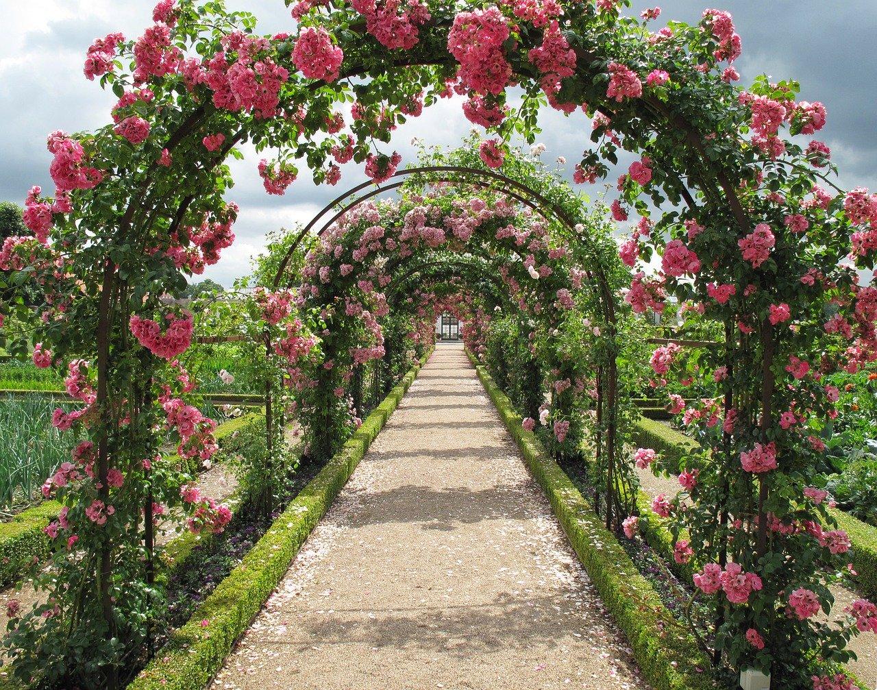 Як вирощувати троянди